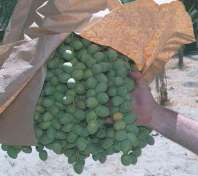 Green Barhee dates
