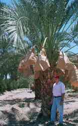 Barhee date palm with Ted